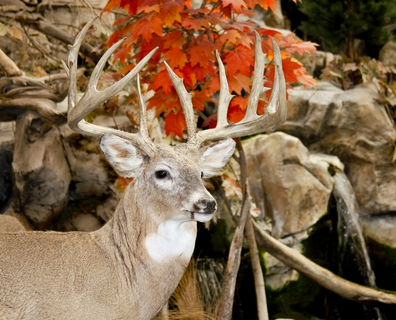Whitetail Buck With Big Antlers