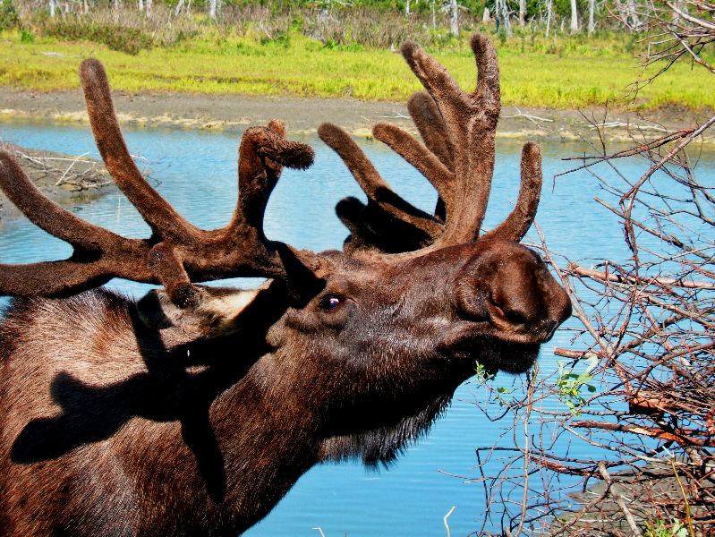 Moose Grazing in Canada