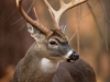 Whitetail Buck With Huge Antlers