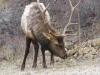 Bull Elk Roaming
