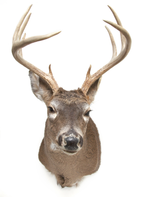 Whitetail Deer With Antlers Mounted