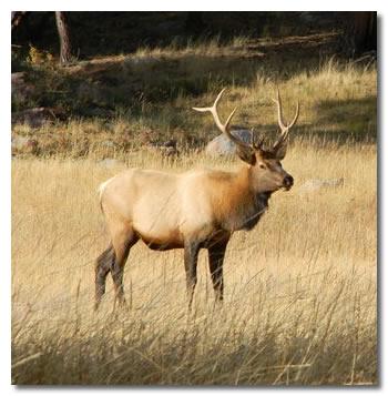 Elk Standing In Field