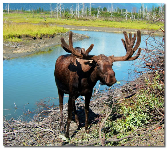 Moose Grazing in Alaska