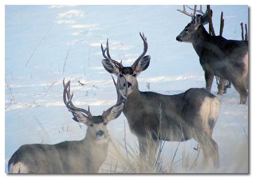 the types and characteristics of whitetail deer Despite the observations we can make on the physical characteristics of deer ears, data on  male deer emit various types of roar.