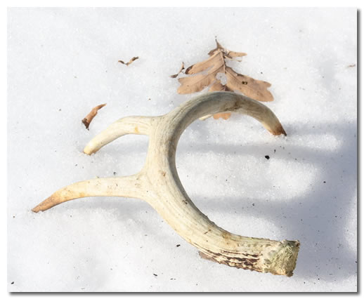 Shed Deer Antler On Snow-Covered Ground