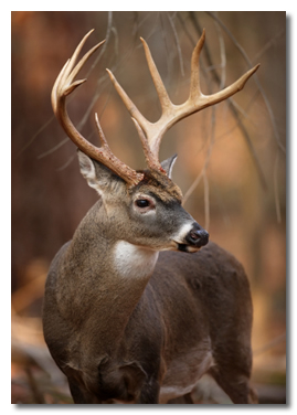 Whitetail Buck With Nice Antlers