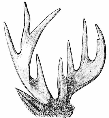 Deer Antler Diagram