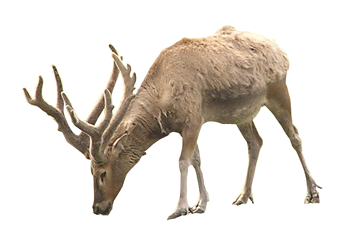 Caribou With Antlers
