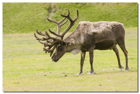 Caribou Deer With Antlers