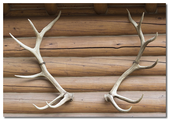 Using deer antlers to achieve a rustic home decor for Antlers decoration